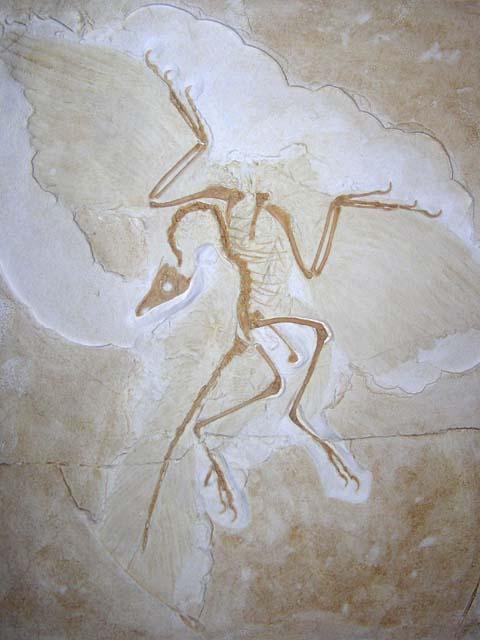 Kokoš ili jaje? Archaeopteryx1